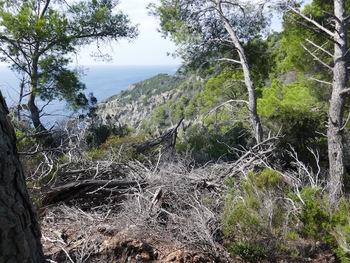 D'un peu plus haut, la Pointe du Sarranier à travers des chablis