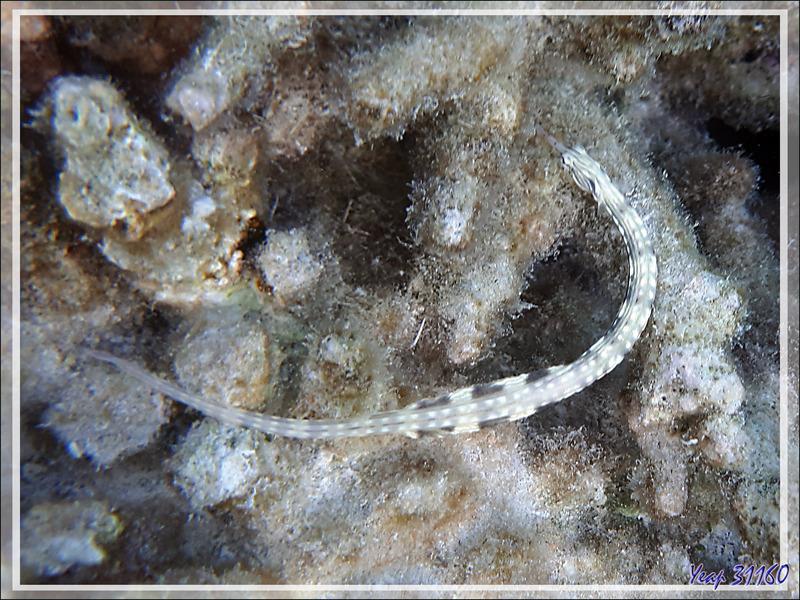 Syngnathe à réseaux, Poisson-aiguille jaune, Network pipefish (Corythoichthys flavofasciatus) - Snorkeling à Moofushi - Atoll d'Ari - Maldives