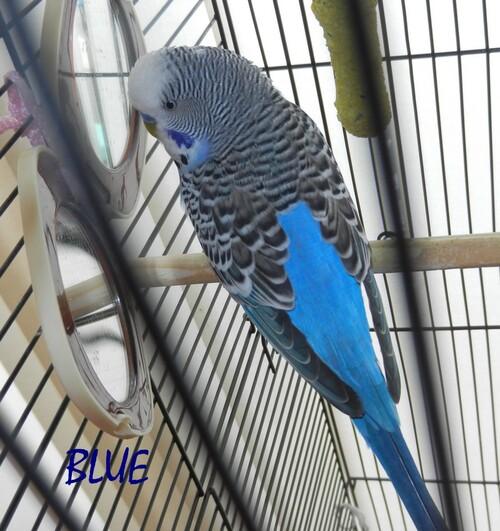 BLUE, la perruche