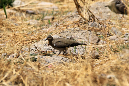 Colombe à ailes noires (Black-winged Ground Dove)