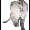 elephant_drawing_by_rachpunzel-d5ug23b