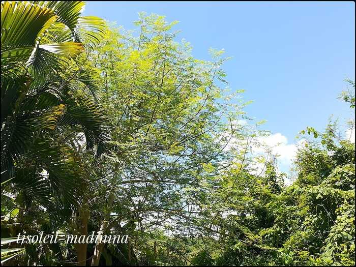 Palmier et arbre de Moringa