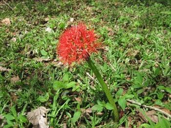 Togo Région des Plateaux Fleur