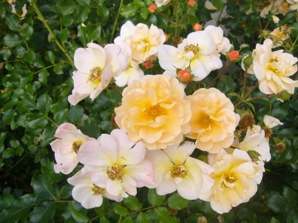 Roses orangers