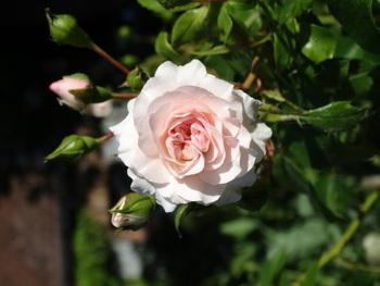 Un rosier coup de coeur: Larissa