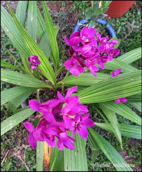 L'orchidée Coco