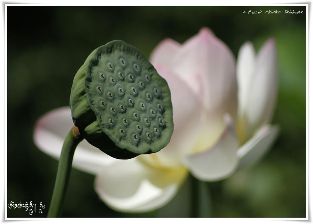 Nelumbo nucifera - Le Lotus sacré ou Lotus d'Orient