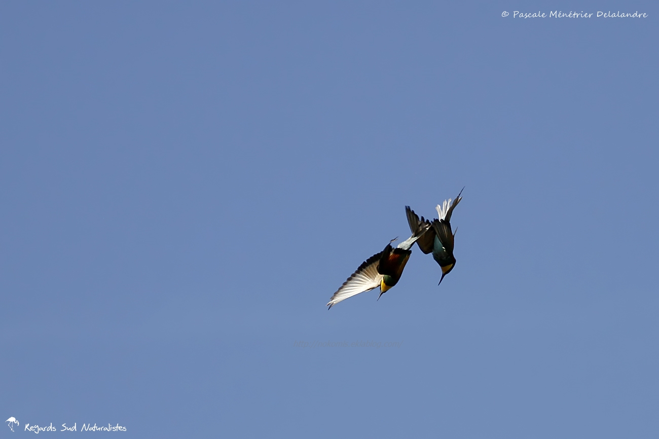 Guêpier d'Europe en parade nuptiale en vol