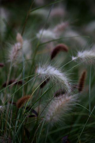 Des compagnes pour mes roses : Pennisetum villosum