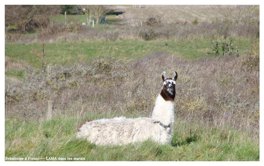 Le Lama dans les marais