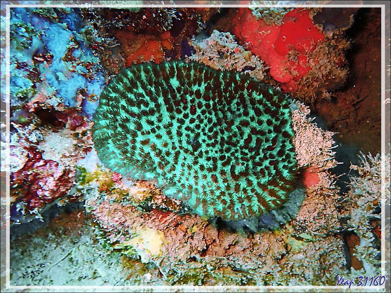 "Un trou très coloré : corail vert fluo ""fleuri"" (Hydnophora exesa ?) - Spot Antsoha (Rocher 4ème Frère) - Tsarabanjina - Mitsio - Madagascar"