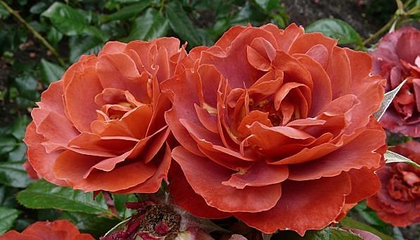 Rose-cuivree-18-6-10--P019.JPG