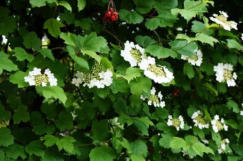 Viburnum obier
