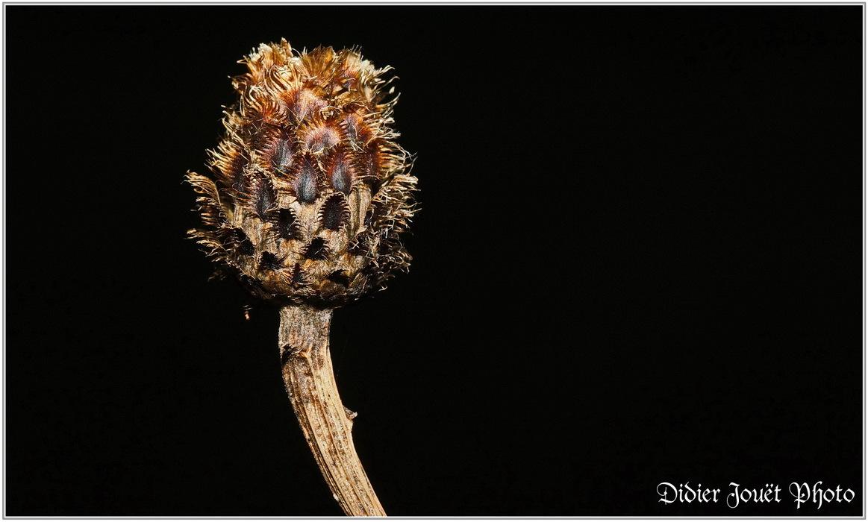 Centaurée Noire / Centaurea nigra