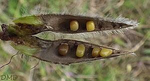 cytisusscopariusdc