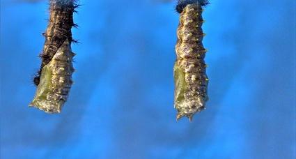 Les papillons de l'été (4) Sur le buddléia
