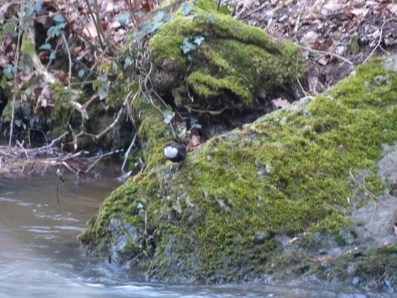 Le Cincle plongeur visite son ancien nid