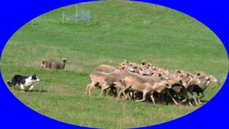 Démo de travail au troupeau à Périgueux.