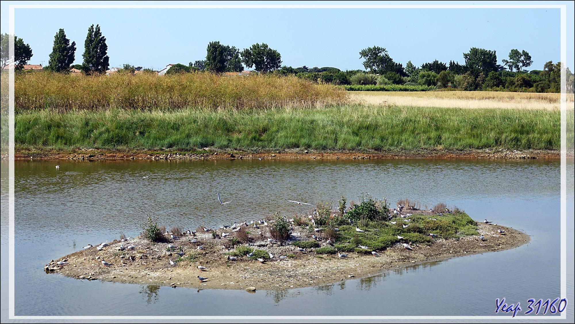 L'îlot aux Sternes pierregarins ou Hirondelles de mer ou Estorlets (Sterna hirundo) - La Couarde-sur-Mer - Île de Ré - 17