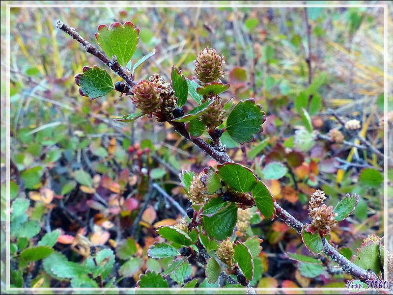 Bouleaux nains arctiques, Arctic dwarf birchs (Betula nana) parés toutes leurs couleurs automnales - Edinburgh Island - Nunavut - Canada