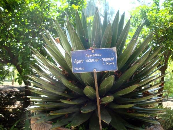 Palerme, Jardin botanique, agave