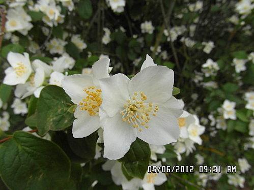 fleurs-5-Juin-007.JPG