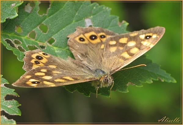 Papillon-1.jpg
