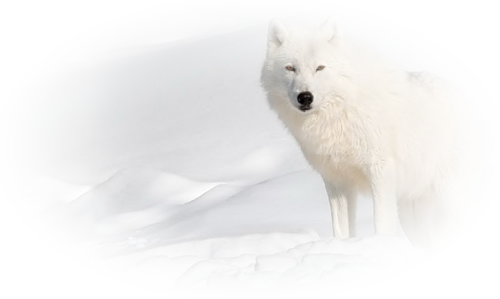 Mes Amis Les Loups