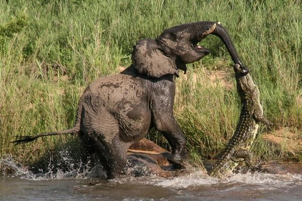 Un éléphant frappe violement un crocodile qui a mordu son tronc