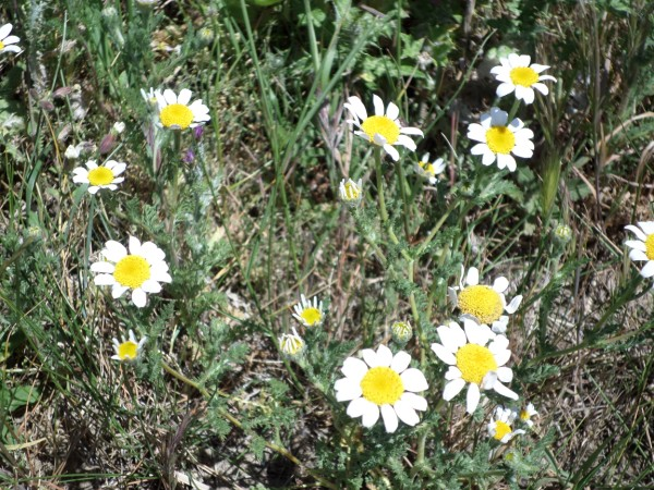 Fleurs de garrigue amis d 39 aguilar - Plante a la gomme ...