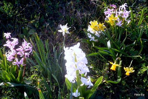 Des fleurs de jacinthe