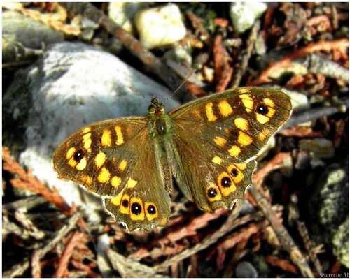 Papillon Tircis(le bronzé)
