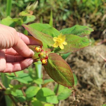 Hypericum Inodorum ou Millepertuis Elstead
