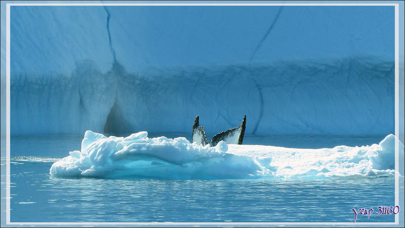Retour aux Baleines à bosse (Mégaptères) - Isfjord (Icefjord) - Ilulissat - Disko Bay - Groenland