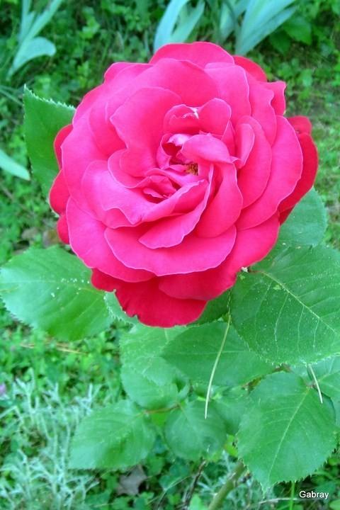 P08 - Rose 8