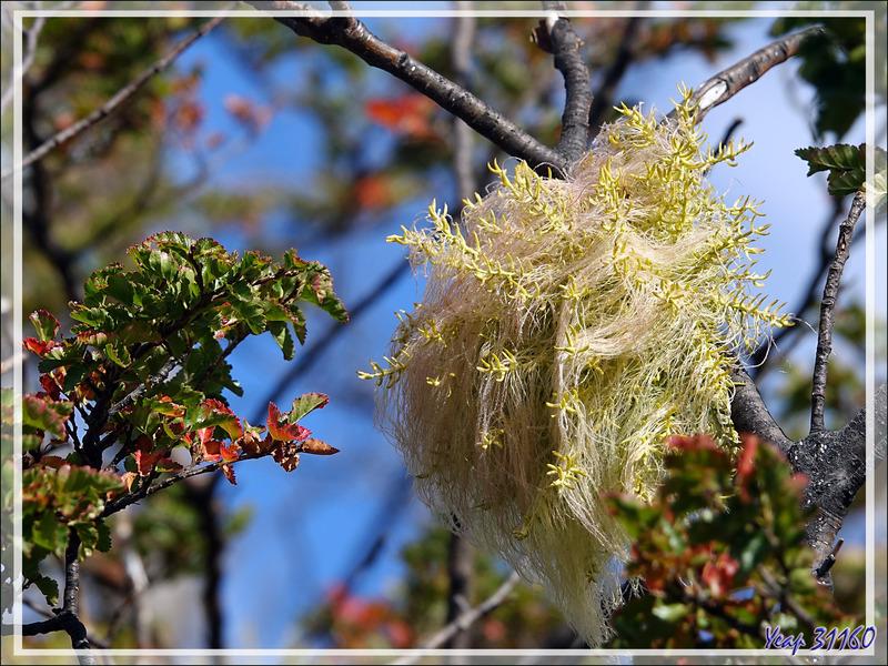 Même plante, pas la même ? Barbe d'ange ou Lanterne chinoise (Misodendrum sp.) - Lac Acigami - Lapataia - Terre de Feu - Argentine