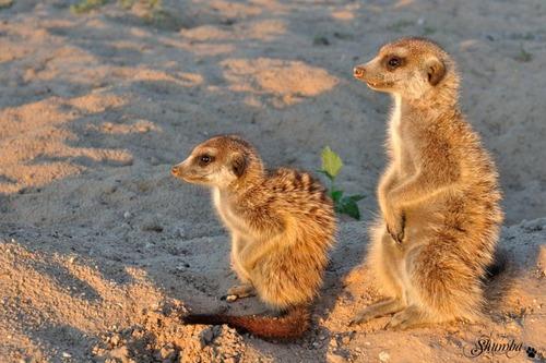 Going meerkating