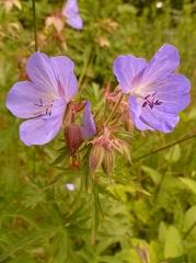 Géranium des prés fleur