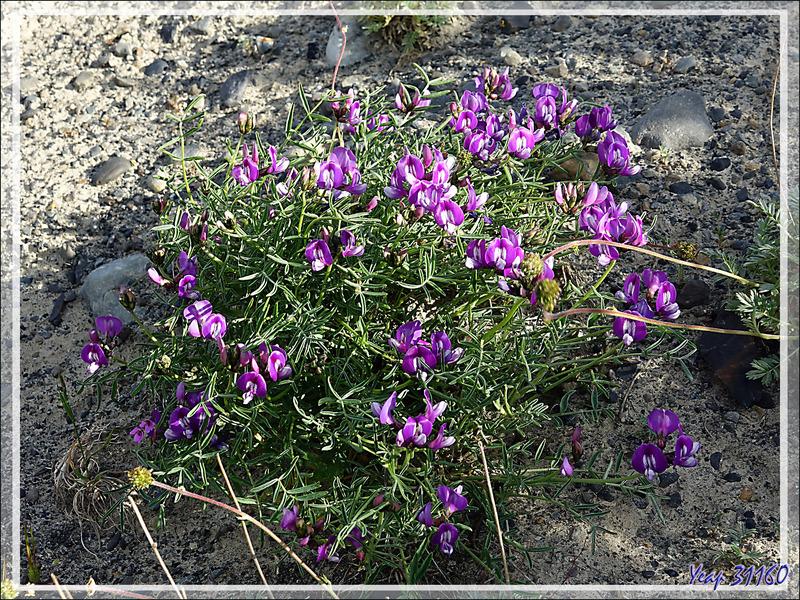 Fleur violette indéterminée : Lathyrus ou Adesmia - Lago Argentino - Patagonie - Argentine