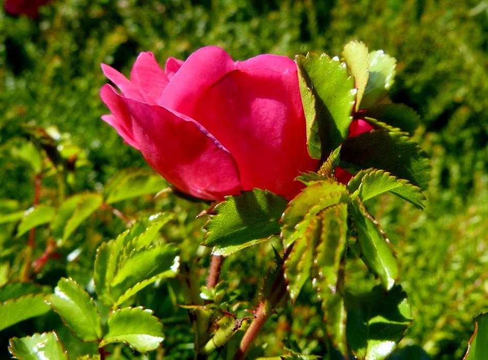 Bonne fête les roses