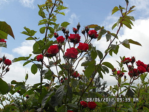 fleurs-du-8-Juin-005.JPG