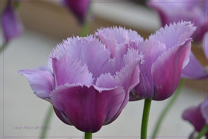 Plus de 200 variétés de tulipes au Parc Floral de Paris - Mai 2014