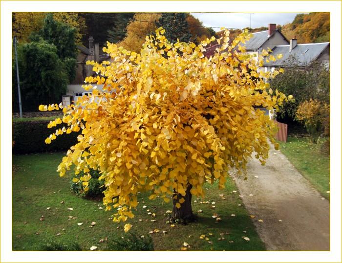 Tilleul, jaune, or, écus, automne, feuilles