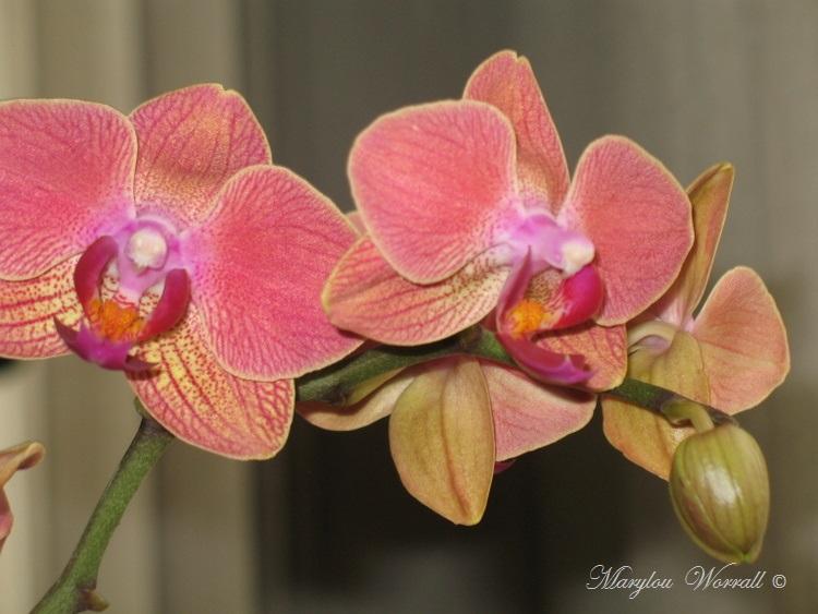 Une autre orchidée sauvée