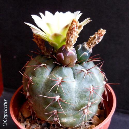 Gymnocalycium andreae, fleur et fruits