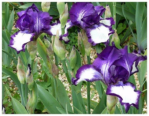 iris violet blanc++
