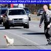 prudence poulets.jpg