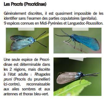 Procris du prunelier ♂ - Rhagades pruni - Procridinae