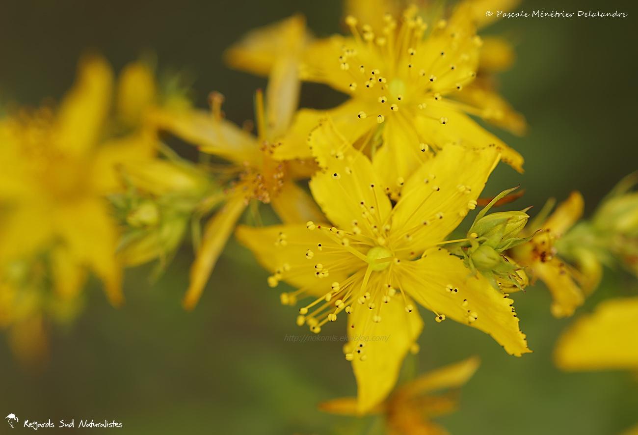 Millepertuis à feuilles en coeur - Hypericum perfoliatum