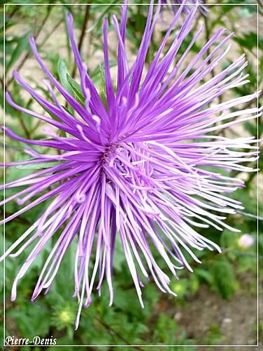 Fleur hérisson